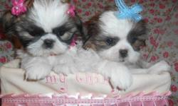Cutest shihtzu puppies male/female,8wks, vet Checked, shots and worming UTD, LapBabys,Nonshed hypo allergenic,Puppy comes with starter Bag, shot records, health certificate and Health guarantee, No emails,Ready to go now, asking $800boy$900, please Call