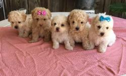 both have shots dewormed and hypoallergenic/dont shed.raised with kids in home not outside.very smart absolutely gorgeous. both parents are AKC papered. puppies will only be 5-7 pounds full grown.serious inquiries only,these puppies wont last long $300