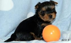 Hello I have an amazing litter of Tea Cup Toy Yorkie puppies we have boys and girls ready to find new family homes. They are 8 weeks old and have been vet checked and also micro chipped. You can meet mum she is adorable she is great with children and