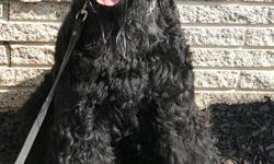 Highly trained Giant Schnauzer ready for your family. Great with kids and other dog, bonds well with all. Beautiful black male that loves to play, walk and jog. Looking for a family that is going to give him a lot of love and the attention he deserves.