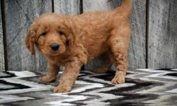 This little puppy is absolutely adorable! This litter is very well socialized and come with a GOOD personality.They are up to date on all their shots and worming For More Info Follow Us On this # (469 X 573 X 2986