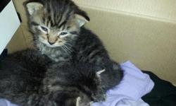 They are bottle feeding now, they are litter box training, they are doing great, i would like them together