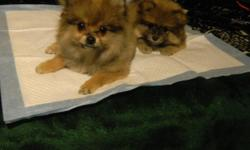 I have two beautiful pomeranian puppies for sale. One is 3mo old and the other is 2mo. Both puppies are orange sable. The 3mo old weighs 2.5lb and the 2mo old weighs 2lbs both will most likely weigh between 4-6lbs full grown. The father of both puppies