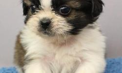 We need a good and caring home for our two teacup Shih-Tzu puppies. They are 10 weeks old and up to date on all shots. If you are inyterested text me at 240-844-2360