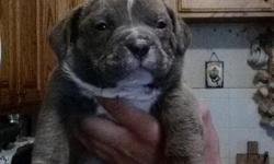 UKC AMERICAN BULLY PUPPY FOR SALE,, 2 FEMALES , 1 MALE, GOOD PEDIGREE, COME WITH FIRST SHOT, DELWORM, BIG BONES, FOR MORE INFO CALL OR TEXT