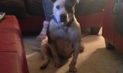 I have a beautiful ukc registered blue pit. She is Juan Gotti's granddaughter. She has only had 1 litter. It breaks our heart to part with her. We have issues with our new landlord and she has to go. She has only had 1 litter. She is house broke but also