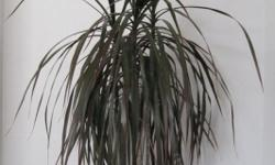 Moving to Peru. Everything must go. This is a unknown Plant, well established has 3 plant stalks in the pot. Now $10.00.