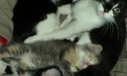 """These kittens are now 15 weeks old and need their furever homes today! Their are FOUR girls and ONE boy. They love to be picked up, go """"limp"""" and will seek you out for a nap on the lap. They have been vet checked healthy, parents tested"""