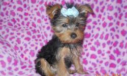 Give your loved ones a Valentine's Day Gift to remember! I have a Tiny beautiful Pure Breed Yorkshire Terrier Male Puppy for sale. Puppy was Born on 11/5/2010, I have 1 Male that is ready to go to his forever home, 3 puppies have already gone to their new
