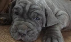 We have a litter of 10 blue AKC Neapolitan Mastiffs Puppies for sale. Only Females available. Born June 7, 2016. Beautiful Puppies with a very strong Champion bloodline!!! Text me at (928) 275-1006) for more pics and details.