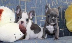 Blue pie French Bulldog Puppies Ready, These well structured puppies will come microchipped, vaccinated, vet checked, wormed every two weeks, along side with their personalised puppy folder with lots of information to help you settle in your new