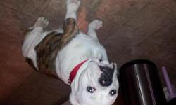 Victorain bull dog pure bred male 8months will be 9 months on the 24th he is papered white and brendal but more white