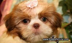 You have to see our Shih Tzu puppies. They are toy and imperial size and come in all colors including red and whites, brindle and whites, black and whites etc.They are 8-12 weeks old and they are all registered andtheir