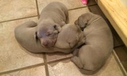 3 beautiful males born 7/31/2014.  $1000 for limited registration; $1200 to be fully registerable.  See photos at www.weimpups.com info@weimpups.com | 602-418-1758