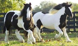 Interested persons interested in this my well trained and beautiful gypsy vanner horses male and female , should contact me for more information , details and recent pictures of the horses . You can as well text me directly using this my phone numbers