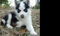 This is a perfectly healthy 7 week old Siberian Husky puppies. He has a white and black coat with blue eyes. These are family owned dogs that reside both indoor and outdoor. Dogs are currently being potty trained. These are great family dogs with a