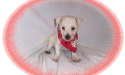This baby boy is adorable. He is very playful and full of fun. He is ready for a new family to love.He is micro chipped. He is hypo allergenic and has a nice non shedding hair coat.He comes with his first series of shots, wormings and a Vet Health