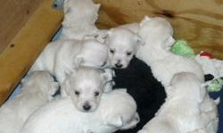 West Highland White Terrier pups (westie) purebred , home raised with kids and a cat , hypoallergetic great family pets will have first shots and been wormed one (1) male left, parents and grandmother here and can be seen. we do NOT ship
