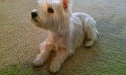 akc female westie. 2 and ahalf years old. $300. not spay. Great with kids and people. House train. Looking for a great home. email me if you are interested. thanks