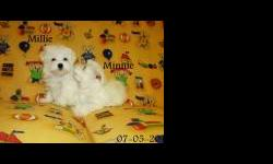 What an adorable maleand female maltese! Mistical has big dark eyes, a fluffy hair coat, and a loving disposition. She will be your best pal. She is inquisitive and happy all the time. Mistical loves to be held, especially if you are brushing her