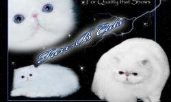 "For Top Quality Blue Eyed White Kittens from Top Winning Bloodlines, contact Barbara at Furrbcats.com for ""QUALITY THAT SHOWS!"" We ship world wide."