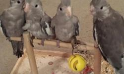 BEAUTIFUL WHITEFACED cockatiel babies. this is the 3rd clutch from this pair. first were normals, second had a lutino, and now they have produced 4 whitefaced. monotone, black white and gray. no orange cheeks. really lovely and special. hatch date