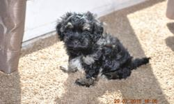 He is a black with brown and white markings... very sweet little guy.LOves people and kids.also likes to be held and played with .easy going little guy.needs a home.parents are great and have good bloodlines.www.myheavenlyhavanese.net or call 320-420-0208