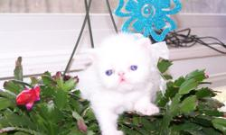 We are selling many blue eyed male and female teacup Persian kittens (White, Blue and Cream, Blue Point) between $700 and $1000 each. The kittens are raised between kids and other cats, so they are very social with people and other animals. Included in