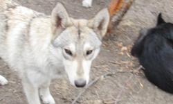hand raised wolf cubs . in my home . loving and sweet babies . very beautiful . great personality's .make great friends and assist animals. they can live 30 years . no health problems . no oder . no fleas or ticks . no heart worm and parvo . they don't