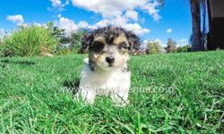 This tiny boy is ?Lyle?, our cutest male Parti Morkie Hybrid puppy available in San Diego. He is current on his vaccines and comes with a One Year Congenital Health Guarantee. Lyle will be 5-6 lbs Full Grown, he is currently 9 weeks old and ready to go to