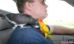 Wow Tame parrots for re homing,african grey and sun conure.My husband and i are giving our cute and lovely African Grey and sun conure birds for re homing.playful with kids. and very socialized contact for details videos and pictures.Hatched and weaned on