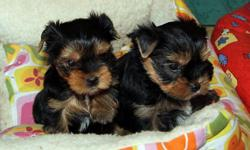 We presently have just two Yorkie puppies presently A KC registered we need only serious and willing families to contact please if interested then send us a text(only) to our number directly() -