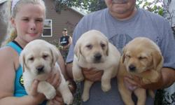 Beautiful Yellow Labrador Puppies.  Both parents English. Will make excellent family pets and Hunting Companions. Vet checked, wormed, declawed, and 1st shot.  Will be ready for new homes on 8-10-2014   Females only.  $700 limited