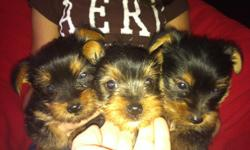 black and brown , will be small around 5 pounds, non shedding and sweet and mild tempered, ready to go to a loving home.