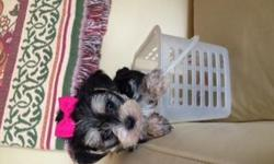 We have some adorable Morkie pups available. They have been raised in a clean loving home. They do not shed and are great for people with allergies. They have had their dew claws removed and their tails have been docked. Pups have been