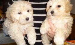 Yorkiepoo puppies, First Shots, Vet Checked, Non Shed, Low maintainance, written health guarantee. 1 is Apricot and 1 is Black whith white markings and white paws, Both males Very Sweet, Loveable Affectionate dispositions, Would fit right