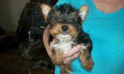 Male blk/tan yorkie puppy for sale . No papers. Has had 1 puppy shote and has been dewormed . Also have parents of the puppy . Ready to go now. 208) 257-3292