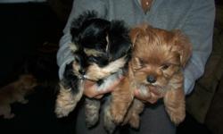yorkie puppies 6 weeks old one boy one girl dewormed ,323-8307842 gabriel