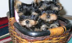 We have a Great Selection of Tiny and Adorable Puppies ( Minis and Teacups ) Meet the  parents ! 40 years of exp. CC accepted Check out my web page for more information minimagicyorkie.com  --