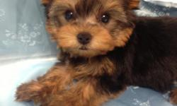 Adorbale  Male and female  Yorkie  Puppies,  They are  8- 12 weeks of age , And come  with all the vaccines up to date.  Toy