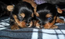 My little London gave birth to only 2 male toy yorkies.. Born 2-27-14 both parents onsite. they will come with first set of shots and their tails have been docked already. Both parents weigh about 4lbs maybe less, last time they were weighted they were