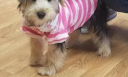 Hi I am looking for a wonderful home for my puppy Gigi. Gigi is a Yorkshire terrier that is 19 weeks old. She comes with all her shots, papers, and she has also been dewormed. Gigi is currently trained on wee wee pads . She loves to play and does not bark