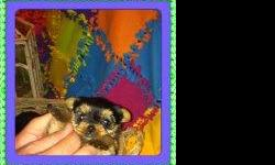 i havelittle maleyorkie puppy for sale born on 12-6-13he isckc reg. mom & dad on sight will weigh about 4 to 4.5 pounds fully grown tails docked dew claws removed come from good clean enviroment make great family pet