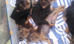 I have 4 female and 1male. They are 11 weeks old have had all shots and worming. They are black and tan and one has silver mixed in. CKC reg