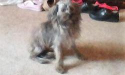 I have a 8 months old black and silver yorkie and wire terrier mix puppy that we need to find a home for. She has lots of energy and loves to snuggle in your lap. I really hate to give her up but i can not give her the time she deserves and it is not fair