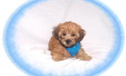 This baby is darling. He is sweet and gentle but playful. He would make a great pet for children. He is a Yorkie and a Poddle mix. He is hypo allergenic and has a beautiful non shedding hair coat.He is micro chipped. He comes with his first series of