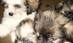 I have 7 Yorkiepoos that need great homes to go to. They are 8 weeks old and they have not had their shots yet. They are very energetic and playful and full of life and needs a loving family and will be the perfect edition to your family. They love