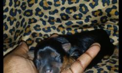 I have 2 yorkies: 1 male & 1 female, the male was just born on July 18, 2014. He is AKC traditional chocolate(black/chocolate) estimated adult weight is 5 to 6lbs, he would be ready to leave on 9/22/14. Then my female puppy is Sassy she is 12 weeks