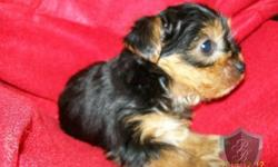 3 beautiful Parti Yorkie Puppies that are ready for there new homes ,I have 2 girls and 1 boy .They are UTD on shots and worming had tail docked and dew claws removed and come with full registration papers ,medical records, and puppy gift box and