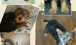 I have a cute yorkie male he haves all shots for more info please message me thank you hablamos Español gracias